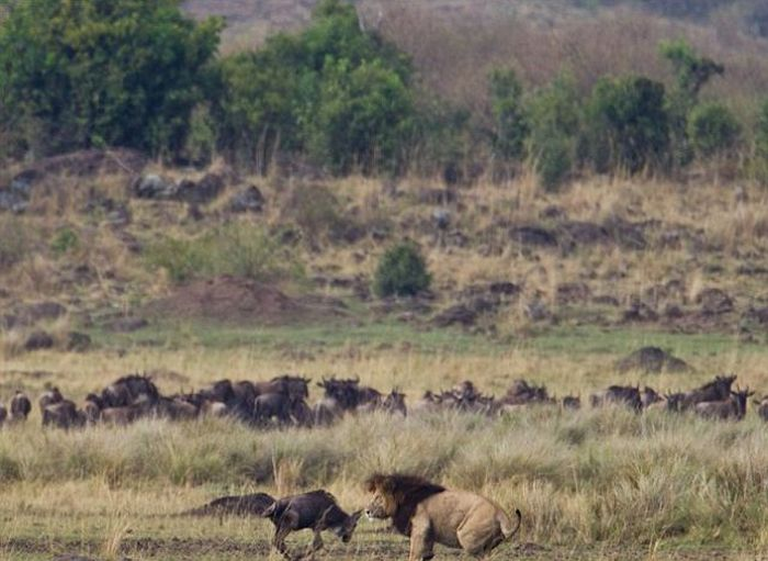 A Little Brave Wildebeest (5 pics)