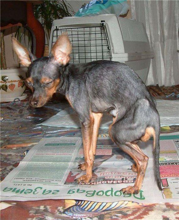 Amazing Dogs' Transformations (60 pics)