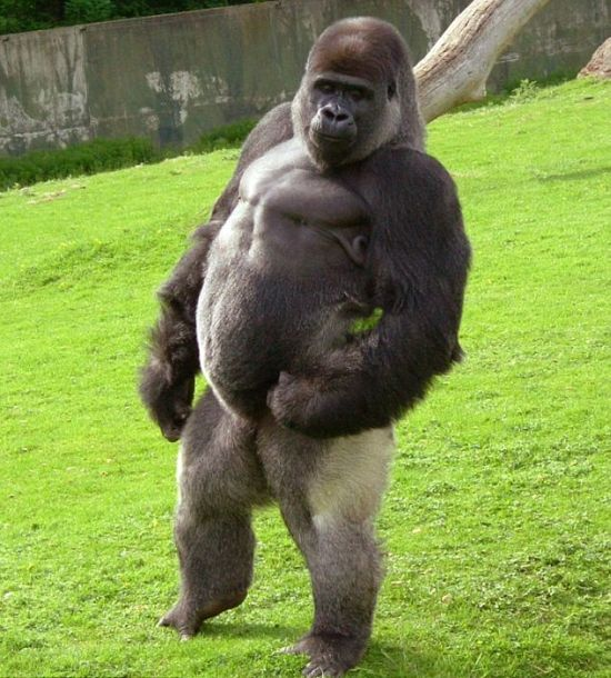 Ambam, Gorilla Who Walks Around on Two Legs (6 pics + video)