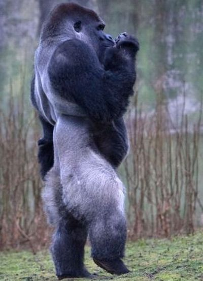 Ambam, Gorilla Who Walks Around on Two Legs (6 pics + video)