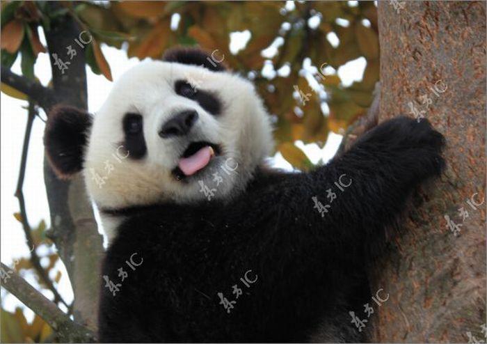 Pandas Enjoy Winter in China (30 pics)