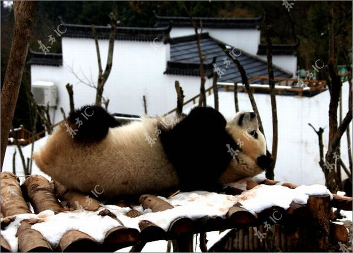 Pandas Enjoy Winter in China (30 pics)