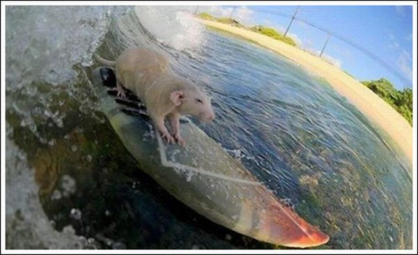 Incredible Surfing Rats (18 pics)