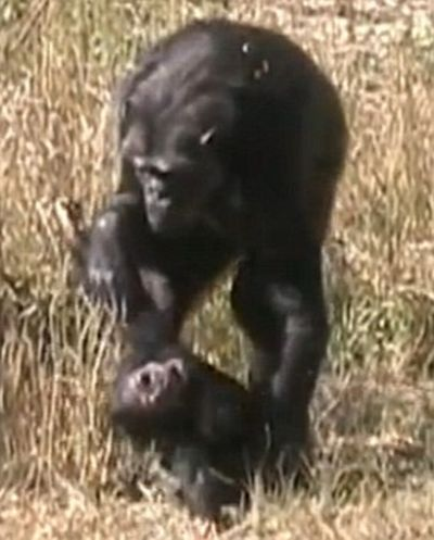 Chimpanzees Mother mourns Her Dead Child (4 pics + video)