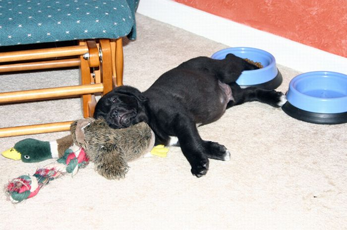 Cute Dogs Falling Asleep by Their Bowls (23 pics)