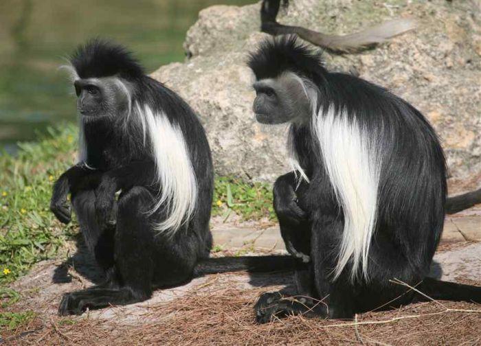 Black and White Colobus Monkeys (14 pics)