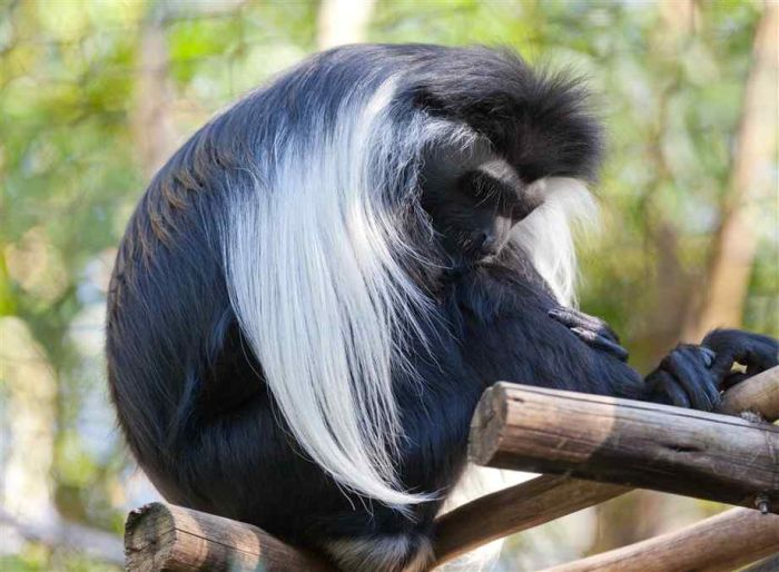 Black and White Colobus Monkeys (14 pics)