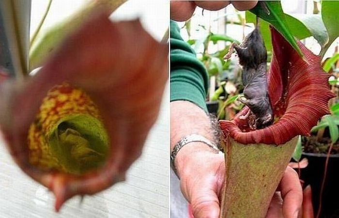 Insect-Eating Plants (36 pics)