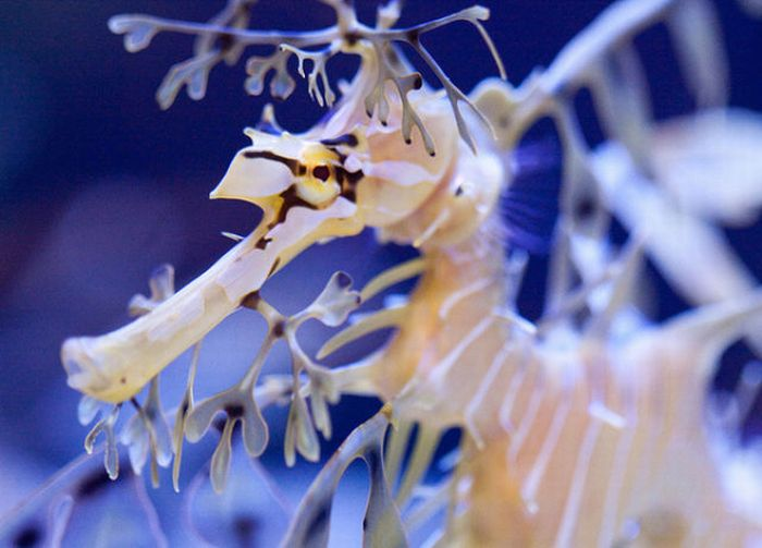 Sea Dragons (44 pics)