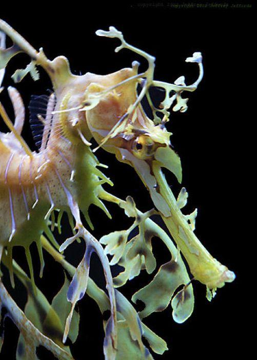 Sea Dragons (44 pics)