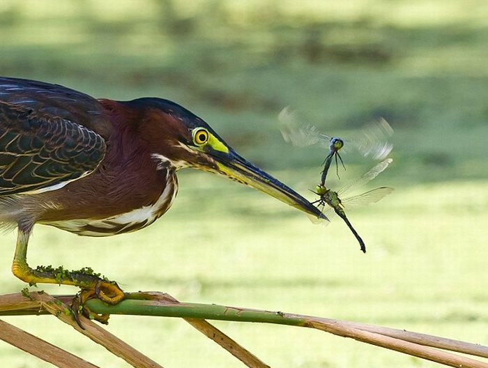 Heron Catches a Dragonfly (4 pics)