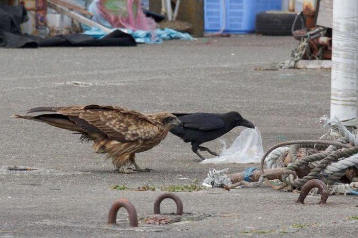Brave Crow (4 pics)