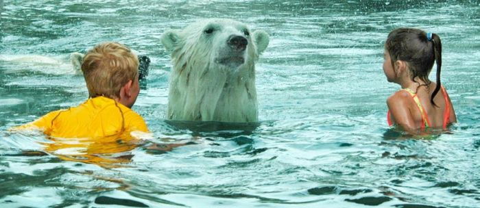 Kids Swimming with Polar Bears (6 pics)