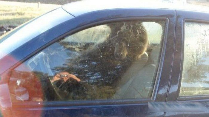 There is a Bear Inside My Car (3 pics)