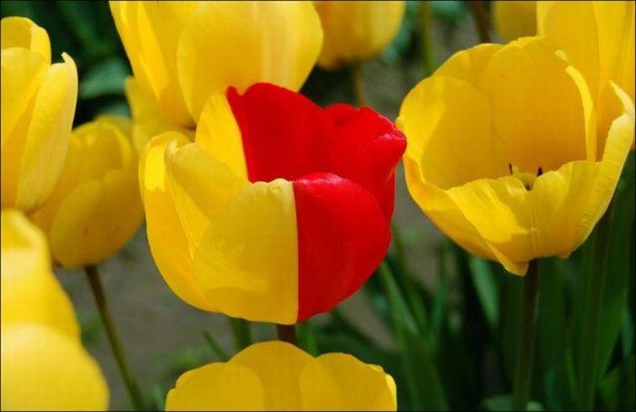Beautiful Tulip Fields (32 pics)