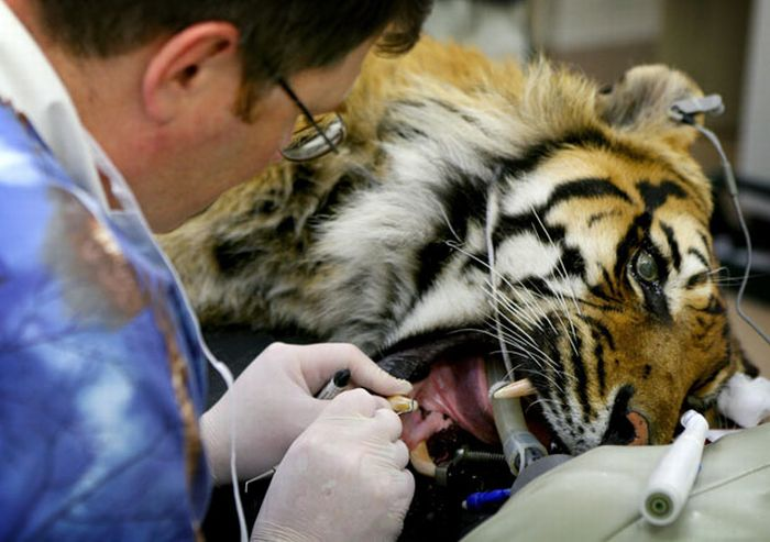 Animals at the Dentist (14 pics)