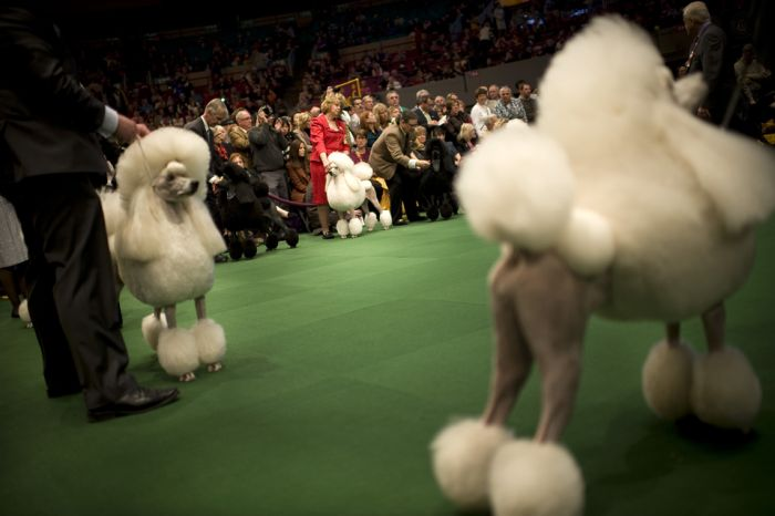 One Poodle's Westminster Journey, With Entourage (12 pics)