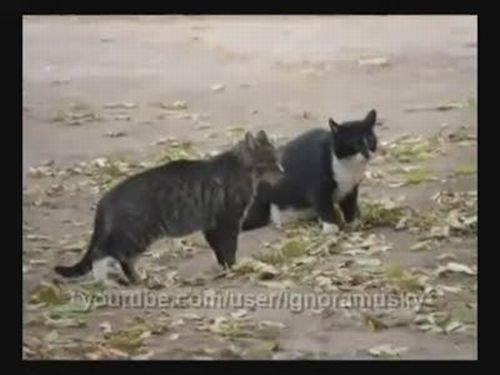 Dog Interrupts Cat Fight