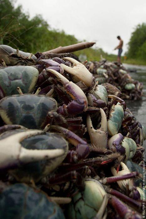 Crab Harvest  (8 pics)