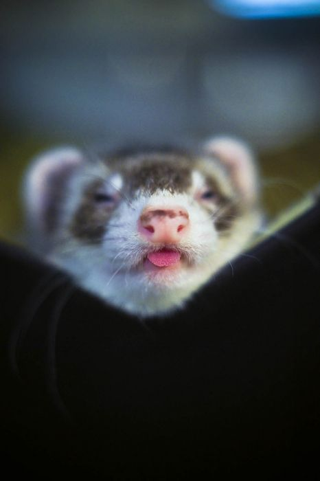 Cute Pictures of Ferrets (17 pics)