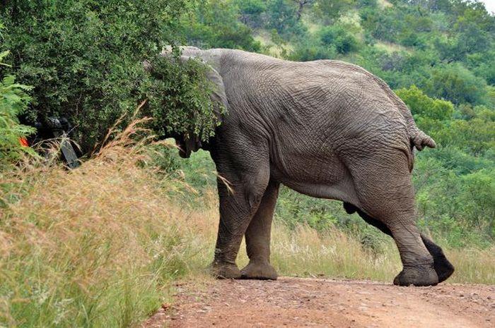 Never Overtake an Elephant (7 pics)