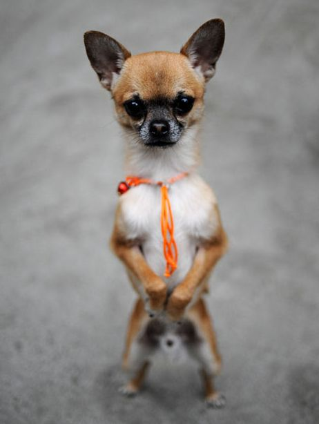 Dogs Walking on Two Legs (20 pics)