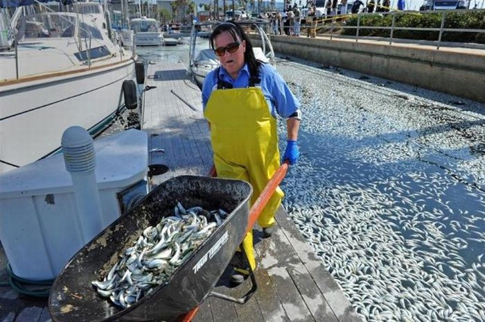 Millions of Dead Fish at King Harbor in Redondo Beach (16 pics)