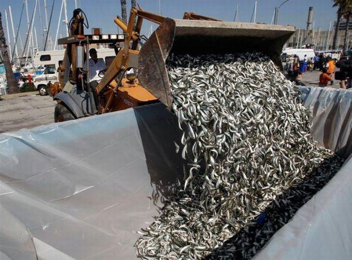 Millions of Dead Fish at King Harbor in Redondo Beach (16 pics)
