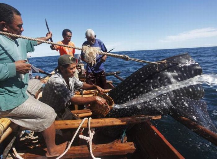 Whale Hunting in Indonesia (23 pics)