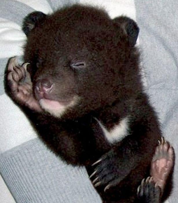 Himalayan Bear Cubs Found New Home (8 pics)