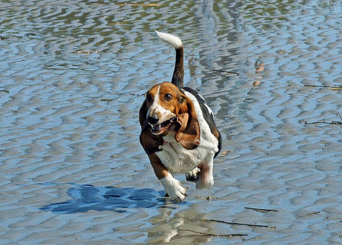 Running Basset Hounds (21 pics)