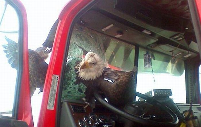Eagle Has Landed on Windscreen (2 pics)