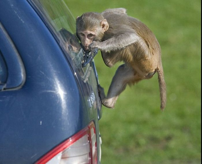 Monkeys Ruined a Car (13 pics)