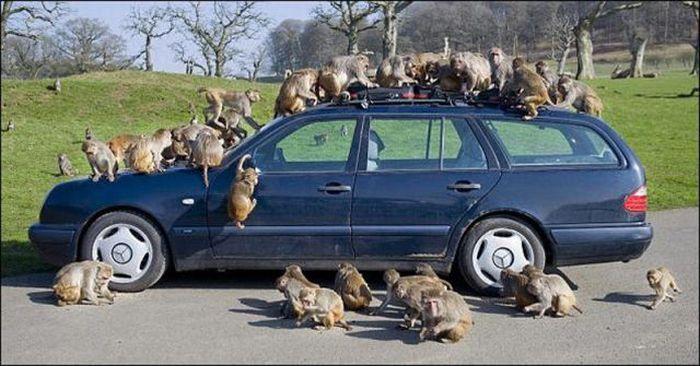 Monkeys Ruined a Car (13 pics)