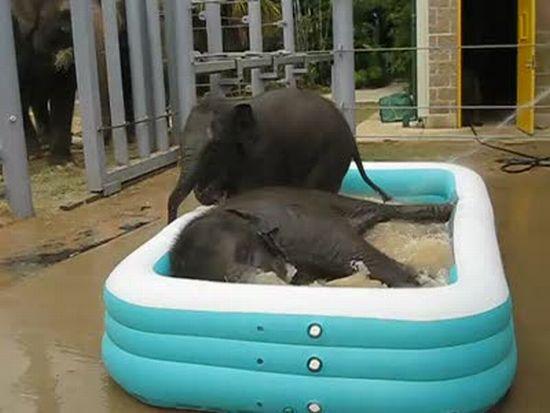 Baby Elephants in the Pool