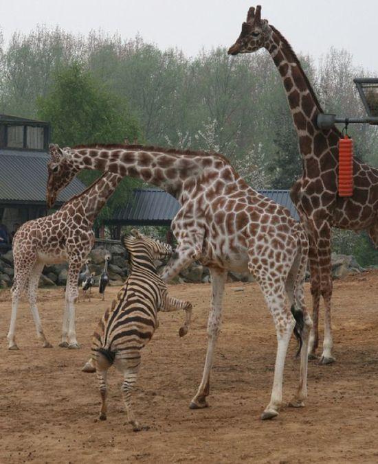 Giraffes Kicking Ass (8 pics)