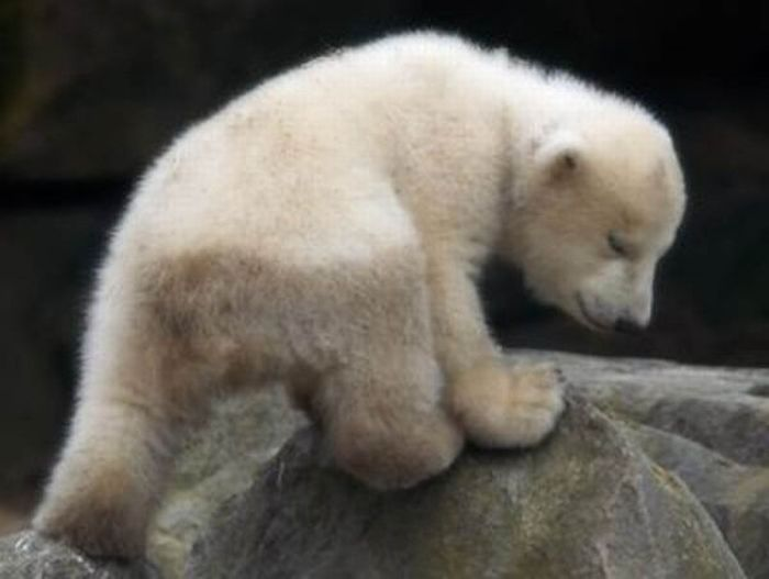 The Life and Death of Knut the Polar Bear (32 pics + video)