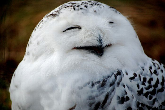 Laughing Owls (35 pics)