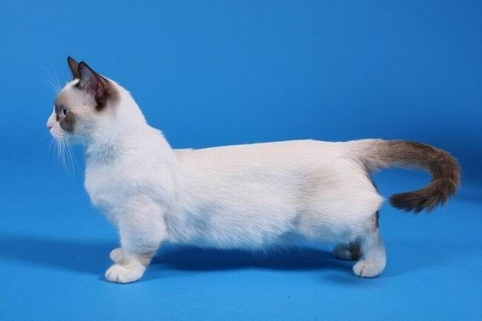 Munchkin Cats (14 pics)