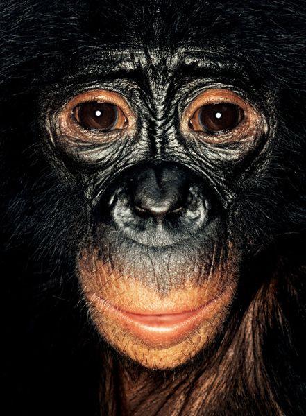 Portraits of Apes (8 pics)
