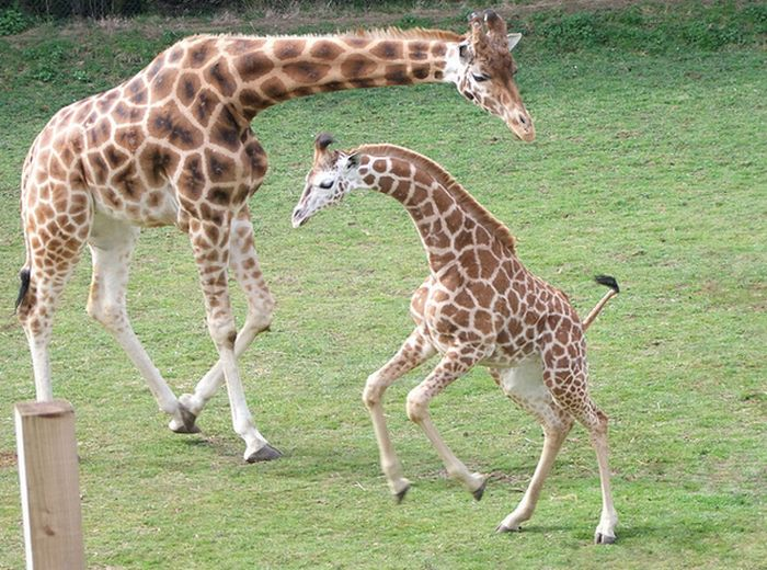 Baby Giraffes (40 pics)