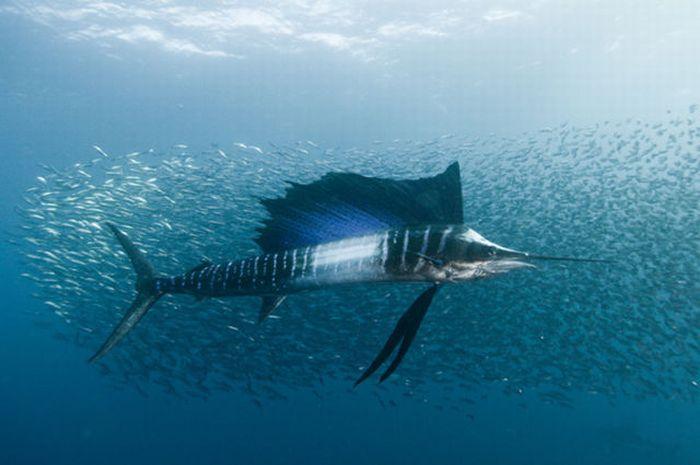 Underwater Sardine Dance (18 pics)