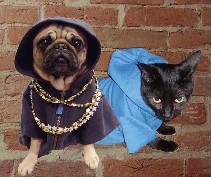 Pug Thugs (16 pics)