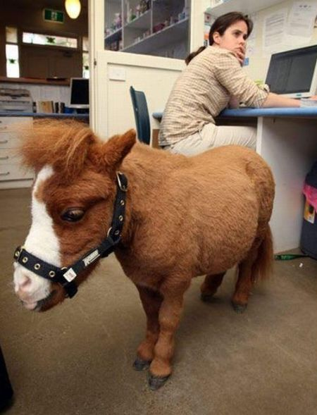 Charming Miniature Horse Koda (10 pics)