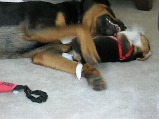 Beagle Puppy vs. Rottweiler