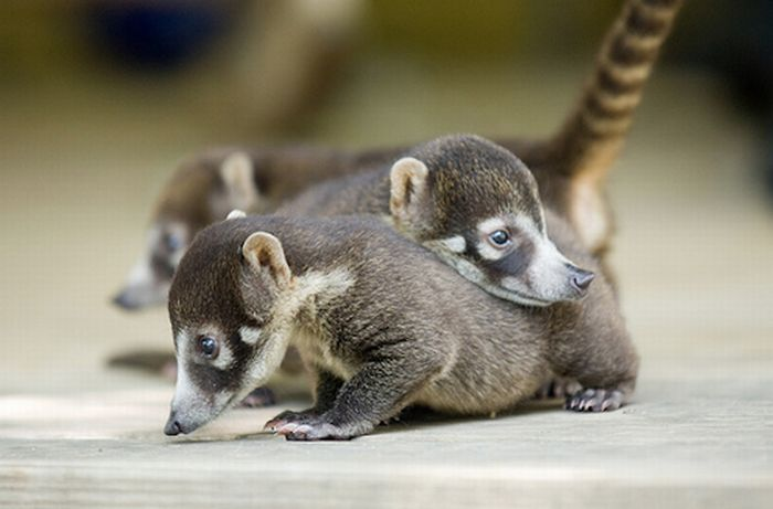 Cute Baby Snookum Bears (50 pics)