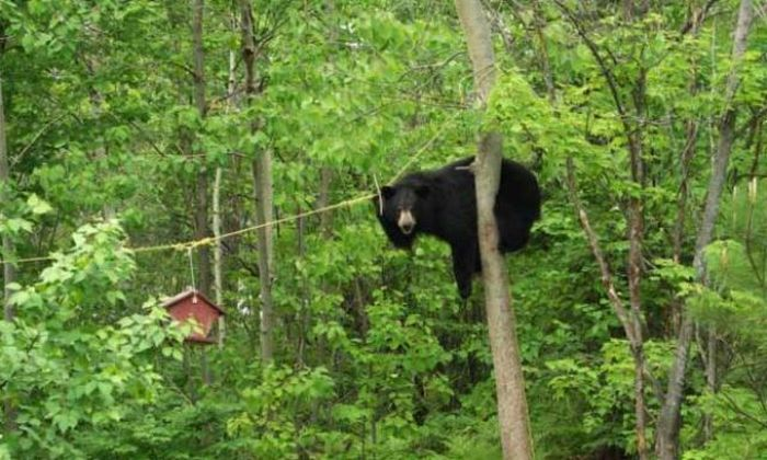 Bear Gets the Bird Feeder (4 pics)