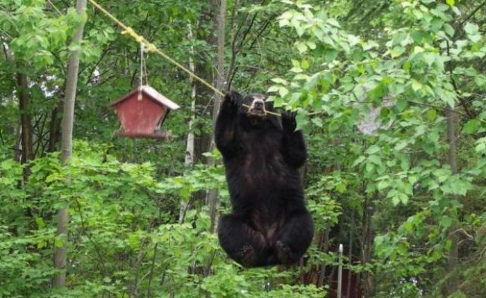 Bear Gets the Bird Feeder (4 pics)