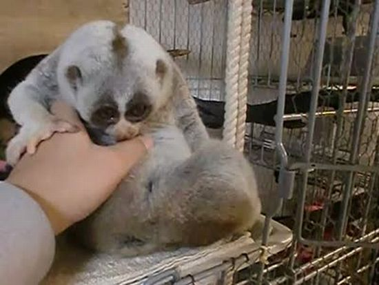 Slow Loris. Very Cute