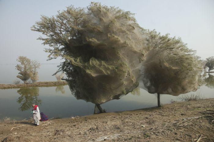 Spider Invasion in Pakistan (8 pics)